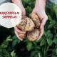 Lindchen Kartoffeln sammeln